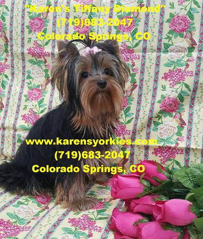 Karens Yorkies,Yorkie Puppies for sale, Yorky Breeder we
