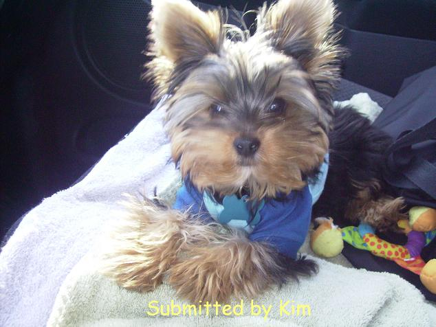 yorkie breeders in colorado copyright 169 2005 7410