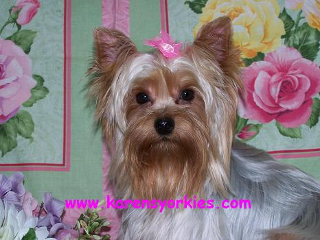 Yorkie puppies for sale in New York, Yorkies for sale in California. Yorkies for sale in Alabama, Yorkshire Terrier puppies for sale in New York, Yorkshires for sale in Texas,Teacup Yorkies for sale in North Carolina,Yorkie Puppies for sale in hollywood california,Yorkies for sale in CO,Yorkies for sale in AZ
