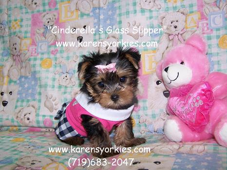 yorkie,Yorkies for sale, Yorky breeder, Yorky puppies, Yorkshire terrier, Yorkshire terriers for sale, teacup yorky, colorado