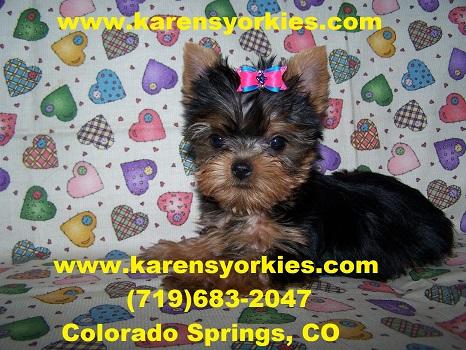 Karens Yorkies,Yorkie Puppies for sale, Yorky Breeder has
