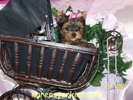 Yorkie puppies for sale, Yorkies for sale, Yorky breeder, Yorky puppies, Yorkshire terrier, Yorkshire terriers for sale, teacup yorky, colorado, CO, Texas, TX, California, CA, Florida, FL, Arizona, AZ