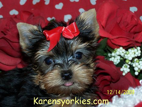 Yorkie puppies for sale, Yorkies for sale, Yorky breeder, Yorky puppies, Yorkshire terrier, Yorkshire terriers for sale, teacup yorky, colorado,Party yorkies,parti yorkies