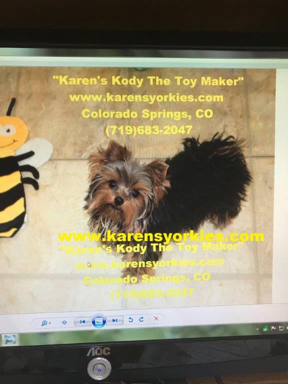 Yorkies for sale, Yorky breeder, Yorky puppies, Yorkshire terrier, Yorkshire terriers for sale, teacup yorky