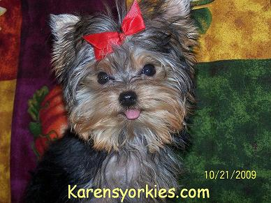 yorkie breeders in colorado karens yorkies yorkie puppies for sale yorky breeder has 6904
