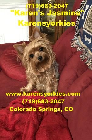 Karens Yorkies,Yorkie Puppies for sale, Yorky Breeder we