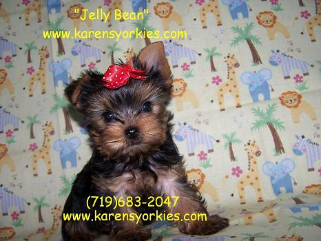 yorkie,New York, New York, Yorkies for sale, Yorky breeder, Yorky puppies, Yorkshire terrier, Yorkshire terriers for sale, teacup yorky, colorado