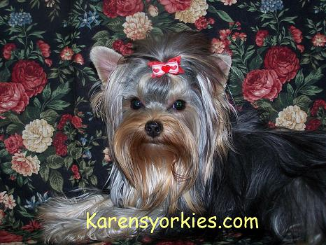 Yorkie puppies for sale in New York, yorkies for sale in denver, yorkies for sale in denver colorado,Yorkies for sale in California. Yorkies for sale in Alabama, Yorkshire Terrier puppies for sale in New York, Yorkshires for sale in Texas,Teacup Yorkies for sale in North Carolina,Yorkie Puppies for sale in hollywood california,Yorkies for sale in CO,Yorkies for sale in AZyorkie,Yorkies for sale, Yorky breeder, Yorky puppies, Yorkshire terrier, Yorkshire terriers for sale, teacup yorky, colorado
