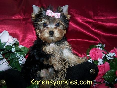 Karens Yorkiesyorkie Puppies For Sale Yorky Breeder We