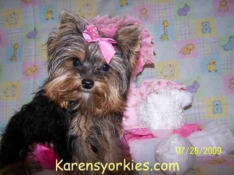 Karens Yorkiesyorkie Puppies For Sale Yorky Breeder Has Many Yorky