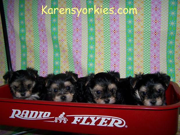 Yorkie puppies for sale in New York, Yorkies for sale in California. Yorkies for sale in Alabama, Yorkshire Terrier puppies for sale in New York, Yorkshires for sale in Texas,Teacup Yorkies for sale in North Carolina,Yorkie Puppies for sale in hollywood california,Yorkies for sale in CO,Yorkies for sale in AZyorkie,Yorkies for sale, Yorky breeder, Yorky puppies, Yorkshire terrier, Yorkshire terriers for sale, teacup yorky, colorado