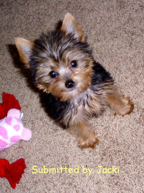 teacup yorkie for sale mn yorkie mix breeders in mn 9221