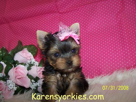 yorkie breeders in colorado karens yorkies yorkie puppies for sale yorky breeder has 4322