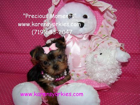 Yorkie puppies for sale, Yorkies for sale, Yorky breeder, Yorky puppies, Yorkshire terrier, Yorkshire terriers for sale, teacup yorky, colorado