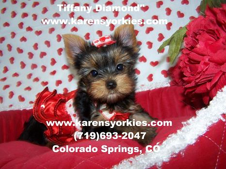 Karens Yorkiesyorkie Puppies For Sale Yorky Breeder We Have Many