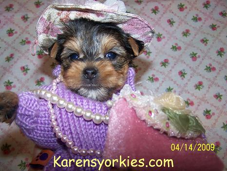 Party yorkies,parti yorkies,Yorkie puppies for sale, Yorkies for sale, Yorky breeder, Yorky puppies, Yorkshire terrier, Yorkshire terriers for sale, teacup yorky, colorado