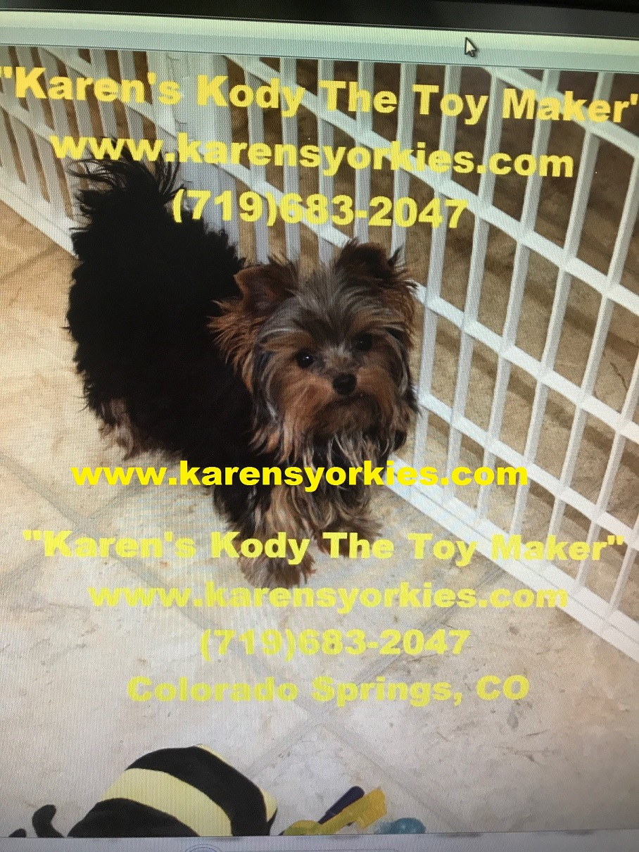 Karens Yorkies,Yorkie Puppies for sale, Yorky Breeder has many Yorky
